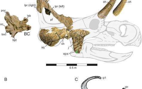 New Centrosaurine Ceratopsid